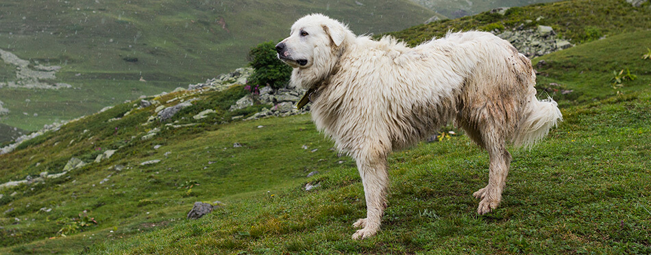 Pyrenean mountain dog standing on pasture under the rain.