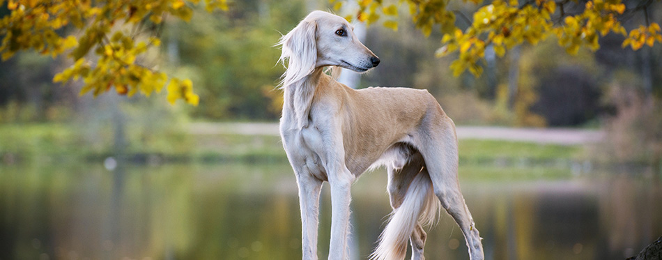 Saluki, Persian Greyhound stands, turned his head in the autumn background, bright colors of autumn, in the background forest, trees, lake