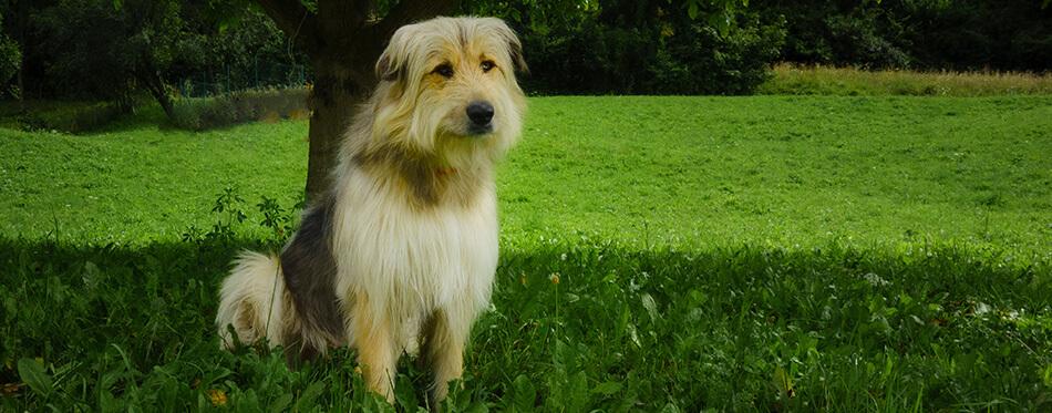 Shepherd dog from the Bergamo mountains