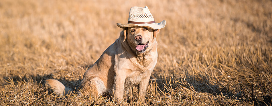 Sitting labrador dog with a hat in the meadow
