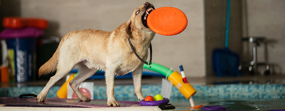 The dog stands and jumps with a toy in the pool.