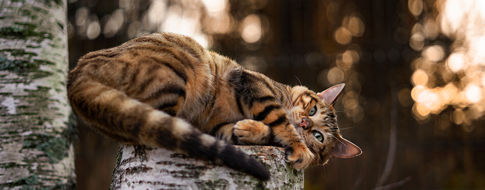 Toyger cat on a tree on nature background in autumn