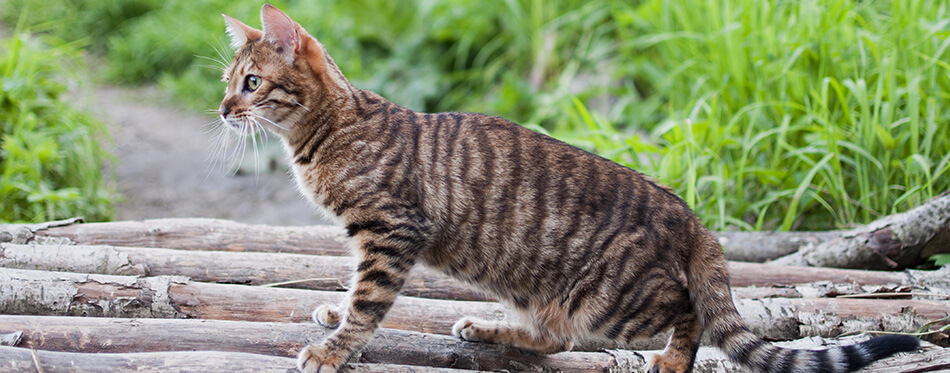 Toyger cat on a white tree