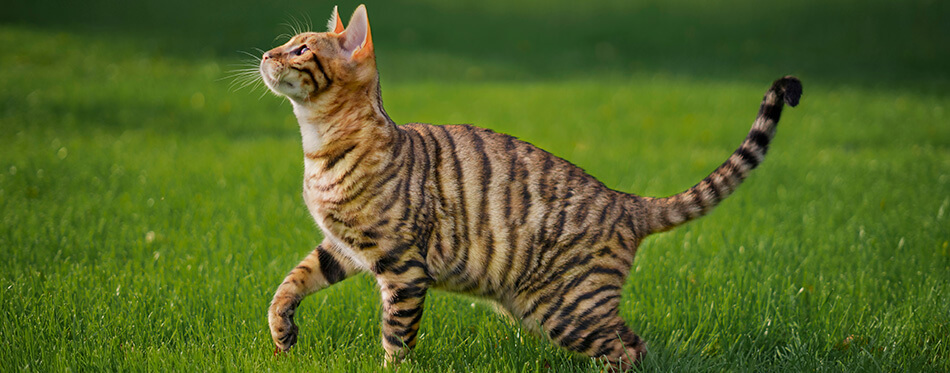 Toyger cat with stripes outside