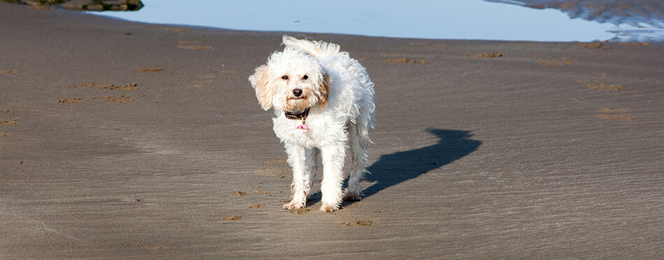 Young white cavachon dog stood on wet sandy beach with rockpools in background on coast