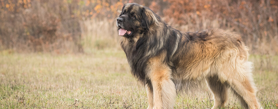 adorable portrait of amazing healthy and happy young leonberger in the forest
