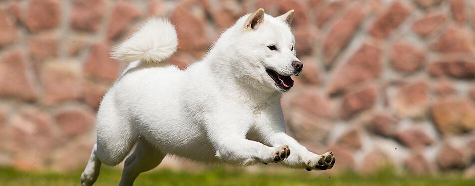 dog breed hokkaido quickly runs
