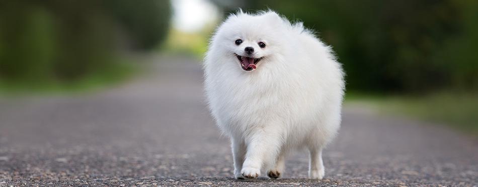happy white pomeranian spitz dog walking outdoors in summer