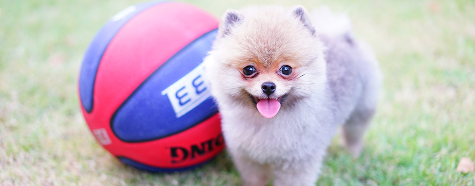 puppy pomeranian with basketball