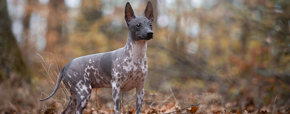 young American hairless terrier dog and autumn