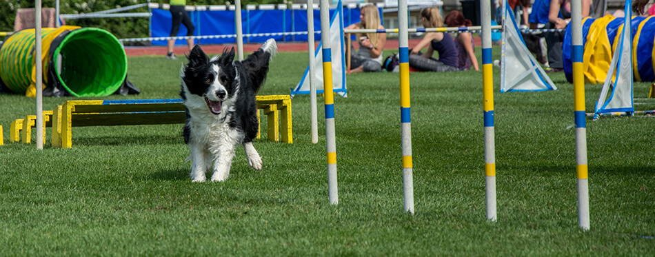 Border collie in agility before obstacle