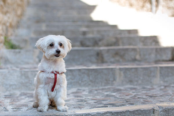 Small male Maltese, attentive to receive orders on a cobbled street