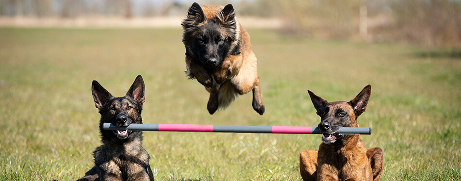 Three dogs showing a fantastic dog trick