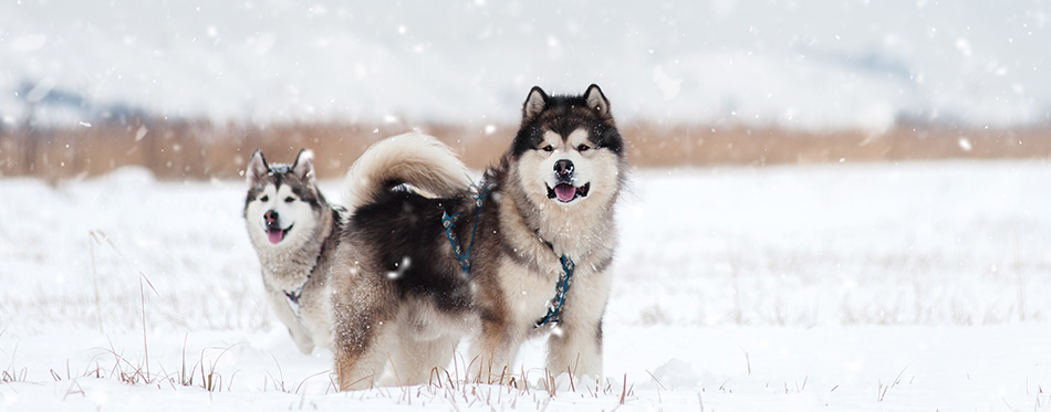 Two Alaskan Malamute stay in the snow field