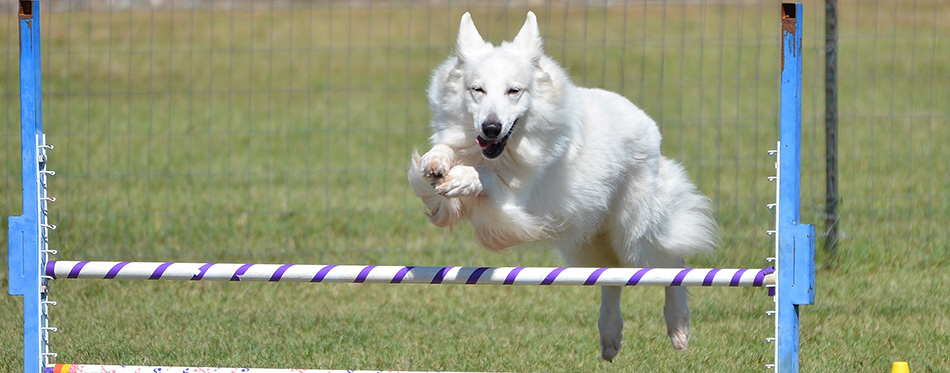 White Shepherd Leaping Over a Jump at a Dog Agility Trial