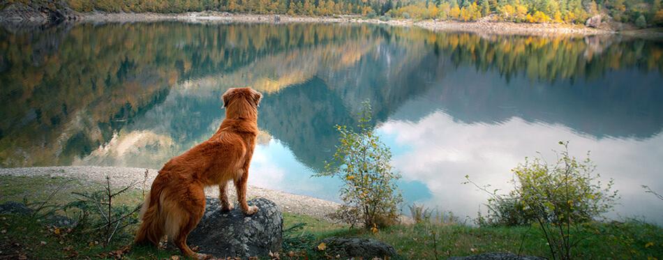 dog at a mountain lake in autumn.