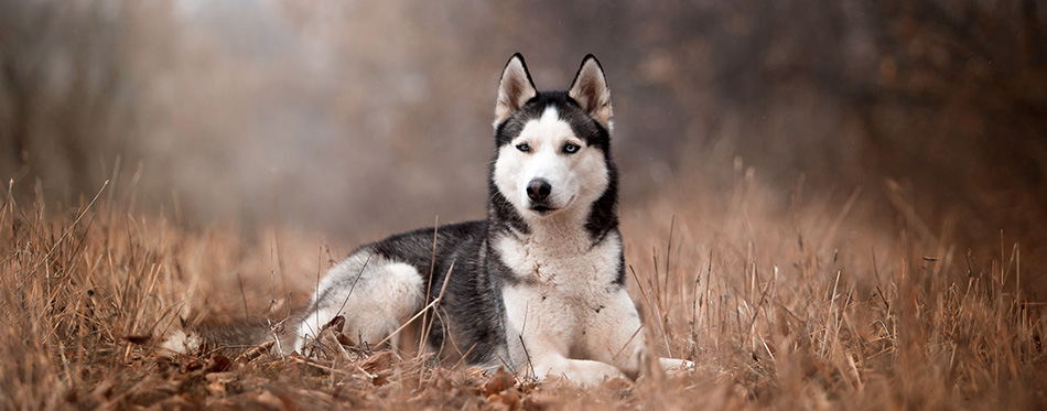 dog breed Husky in the autumn forest