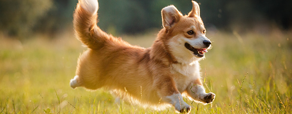 Corgi dog pembroke welsh corgi walking outdoor in summer park