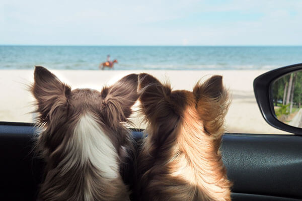 two happy chi hua hua dog in a car looking to the sea or the beach from the car's window on vacation or holiday.