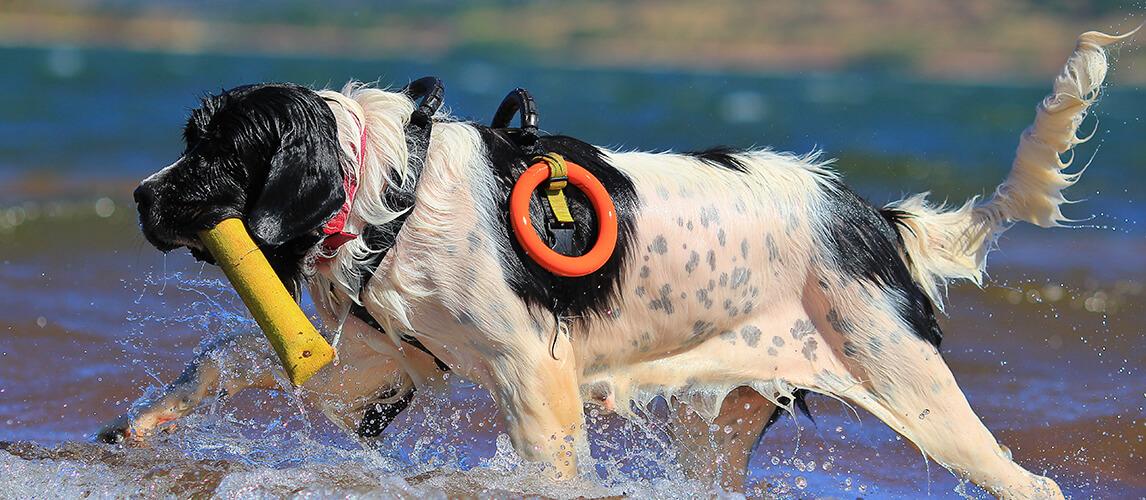 Landseer rescue dog