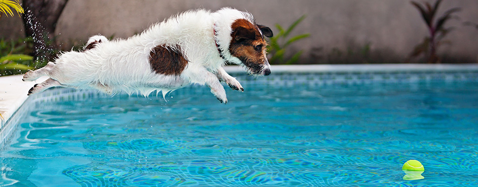 Playful jack russell terrier puppy in swimming pool has fun - dog jump and dive underwater to retrieve ball.