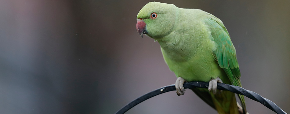 The rose-ringed parakeet, also known as the ring-necked parakeet, is a medium-sized parrot in the genus Psittacula, of the family Psittacidae.