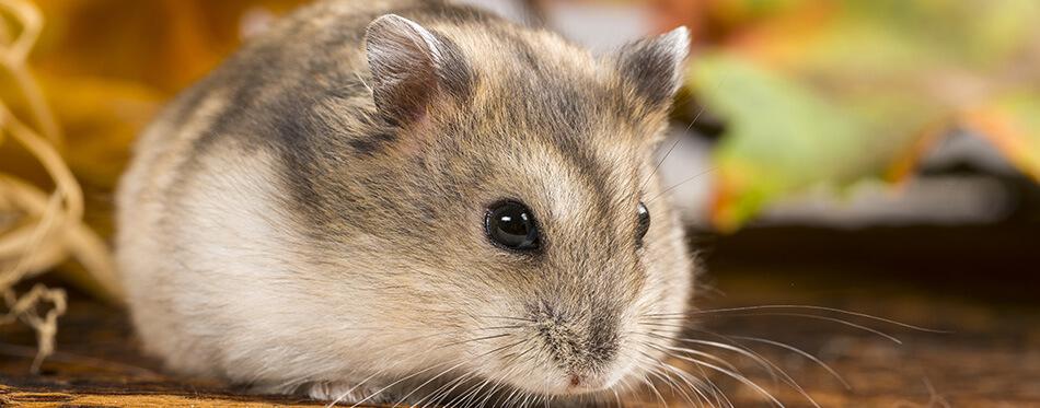 little pet hamster