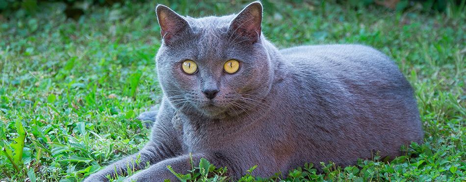 A beautiful grey Chartreux cat