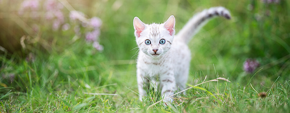 A cute white little SnowBengal kitten outdoors in the grass.