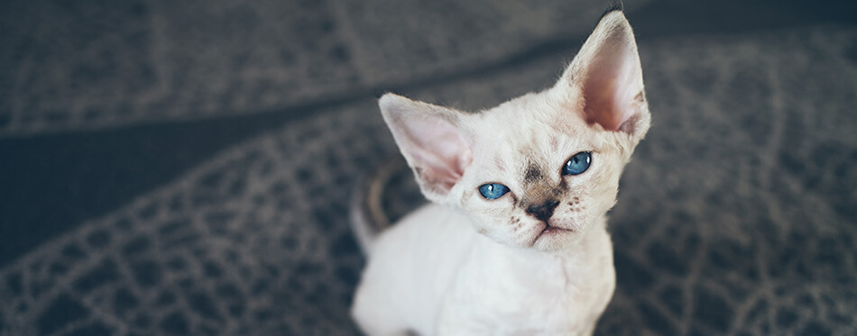 Beautiful Devon Rex point tabby little kitten is sitting on a soft blanket.