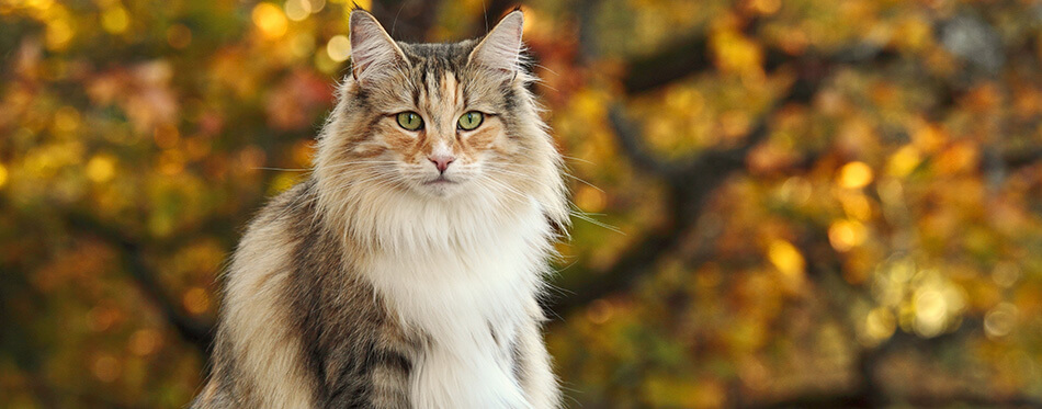 Beautiful Norwegian forest cat female sitting in the park