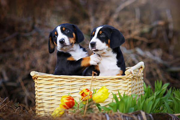 Great Swiss Mountain dog adorable puppies