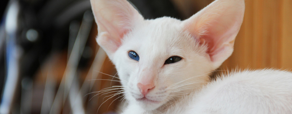 Oriental Foreign White