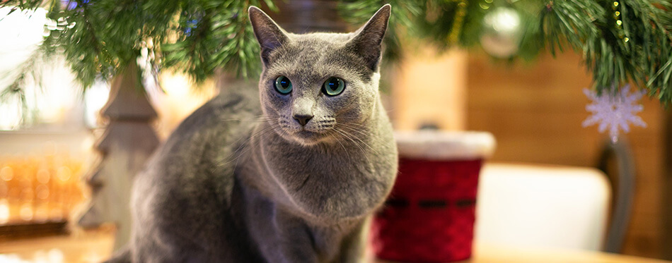Russian blue cat is ready for new year.