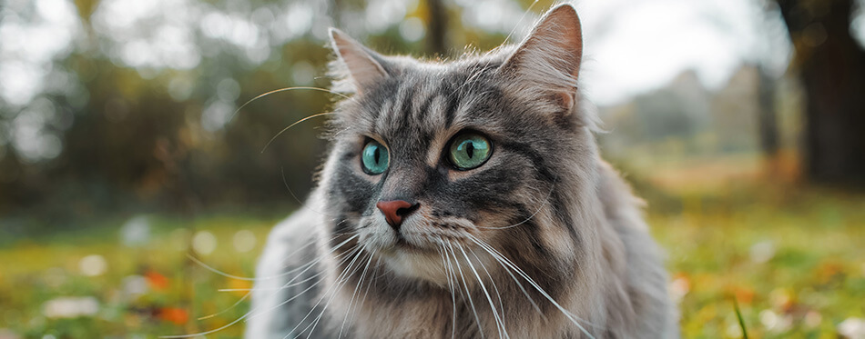 The cat looks to the side and sits on a green lawn.