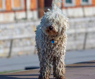 5 Dog Breeds with Dreadlocks