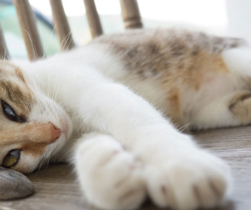 5 Fascinating Facts About Polydactyl Cats
