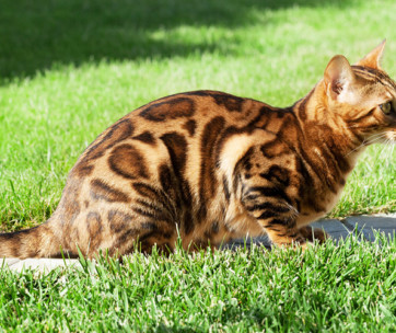 Bengal Cat Breed Information, Characteristics and Facts