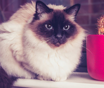 Birman Cat Cat Breed Information, Characteristics and Facts
