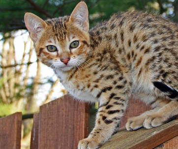 Savannah Cat: Cat Breed Information, Characteristics and Facts