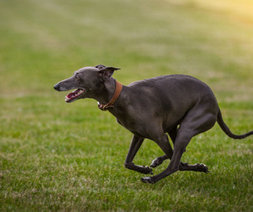 Dog Food for Greyhounds