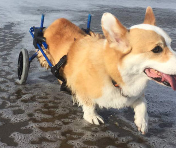 Best Wheelchairs For Dogs