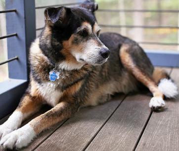 German Shepherd Husky Mix Breed Facts & Temperament