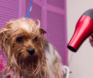 How to Correctly Blow Dry Your Dog