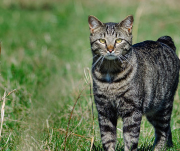 Manx Cat: Cat Breed Information, Characteristics and Facts