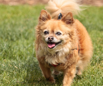 Pomchi (Chihuahua Pomeranian Mix): Breed Facts & Temperament