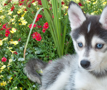 Pomsky (Siberian Husky Pomeranian Mix) Breed Facts & Temperament