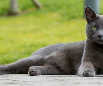 Russian Blue Cat: Cat Breed Information, Characteristics & Facts