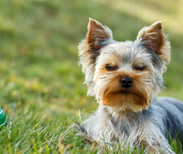 The Best Dog Food for Yorkies