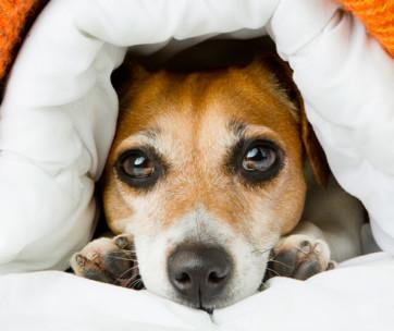 Why Do Dogs Run In Their Sleep